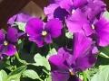 Clearsky Purple