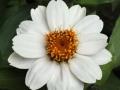 Zahara White