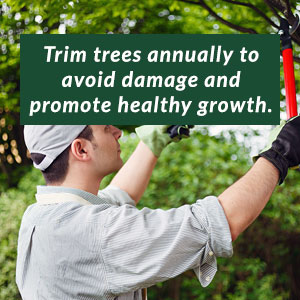 Trim trees annually to avoid damage and promote healthy growth